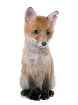 Fuchsjunges