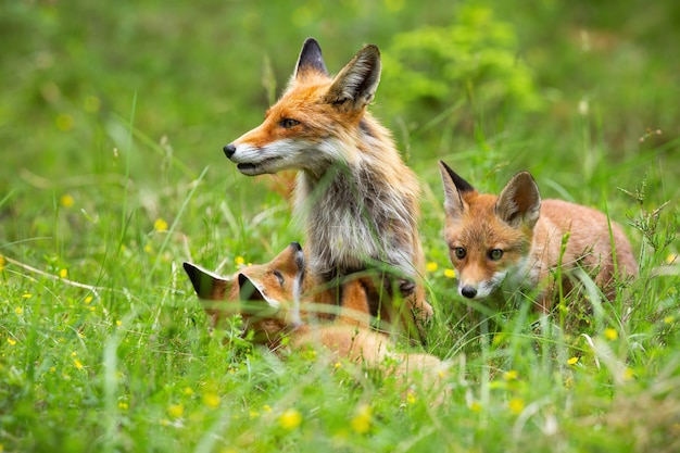 Füchse spielen mit ihrer mutter zwischen den wildblumen