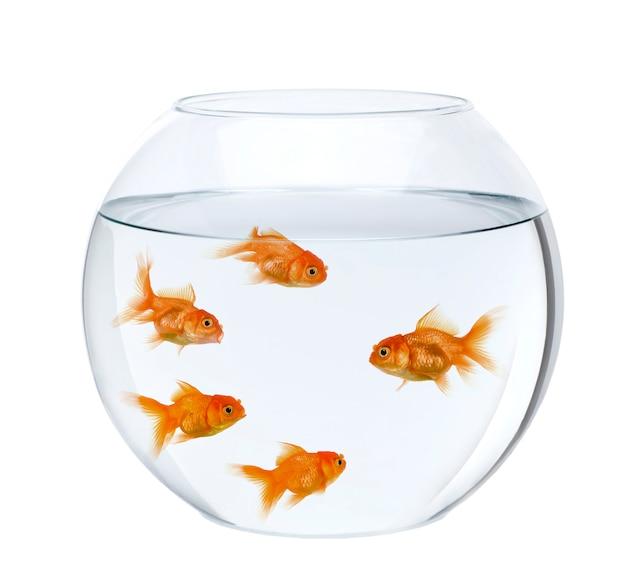 Fünf goldfische in der fischschale isoliert