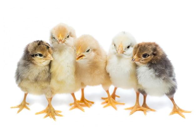 Fünf hühner auf weißem hintergrund