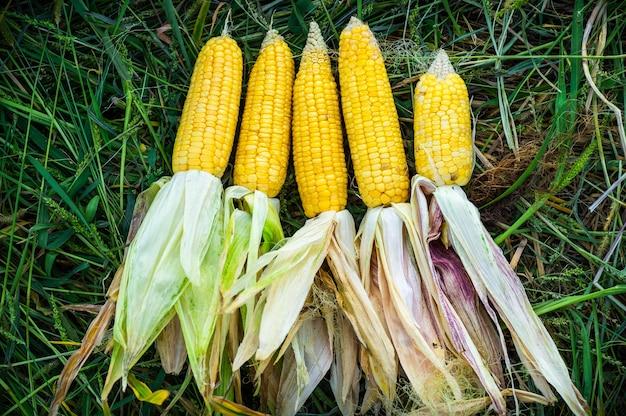 Fünf reife gelbe maiskolben auf dem feld. sammle maisernte. ernte. herbstaktivitäten.