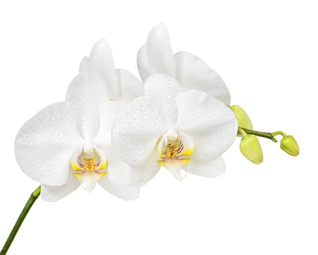 Fünf tage alte weiße orchidee isoliert. nahansicht.