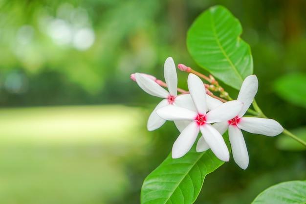 Fünf weiße blütenblätter mit rosa farbe innerhalb der blume auf dem verschwommenen gartengrün