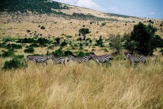 Fünf zebras