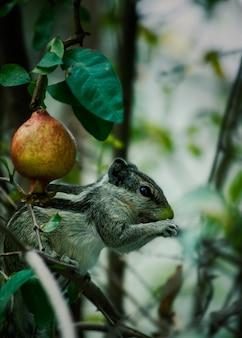 Fünfstreifen-palmenhörnchen (funambulus pennantii) und unreifer granatapfel