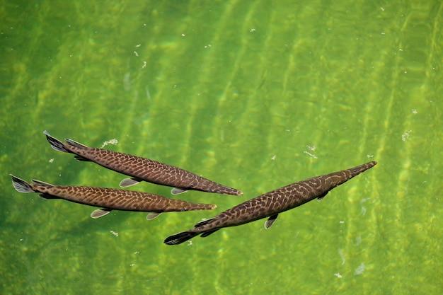 Fuengirola, andalusien/spanien - 4. juli: florida gar (lepisosteus platyrhincus) im bioparc in fuengirola costa del sol spanien am 4. juli 2017