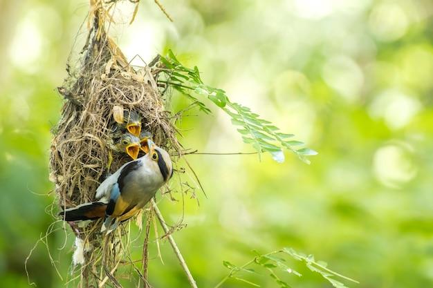 Fütterungsbaby des silberbrüstigen broadbill (serilophus lunatus) im nest