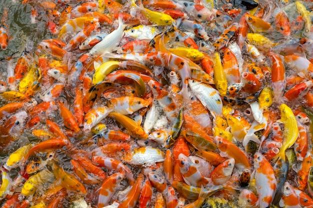Fütterungskarpfen im teich. bunter fantastischer karpfen, koi fische, die zusammen konkurrieren für nahrung konkurrieren.