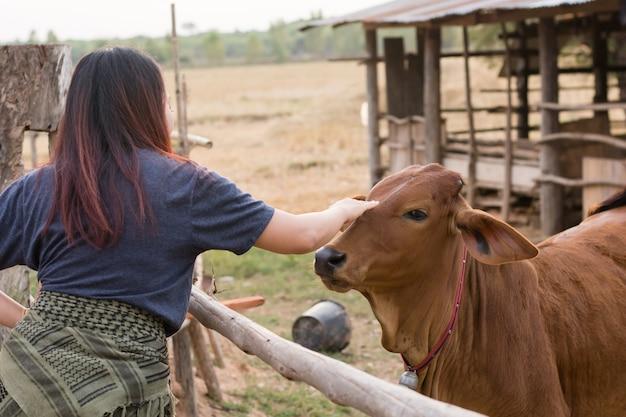 Fütterungskühe der jungen frau mit gras am cowhouse im bauernhof thailändisch