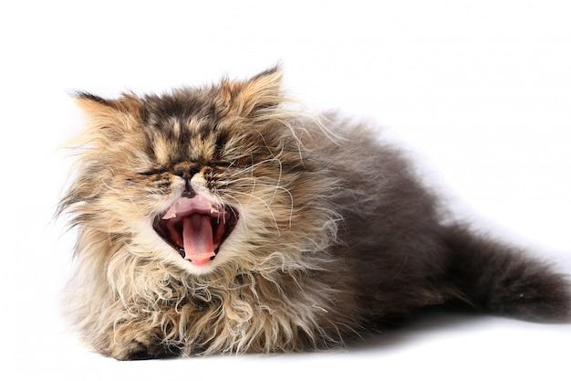 Gähnendes kätzchen getrennt auf weißem hintergrund. persische rasse der katze