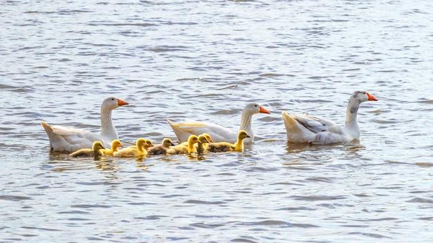 Gänse mit kleinen gelben gänschen schwimmen auf dem fluss.