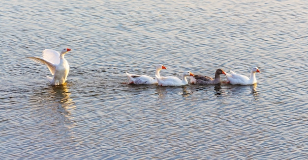 Gänse schwimmen entlang des flusses. wasservögel_
