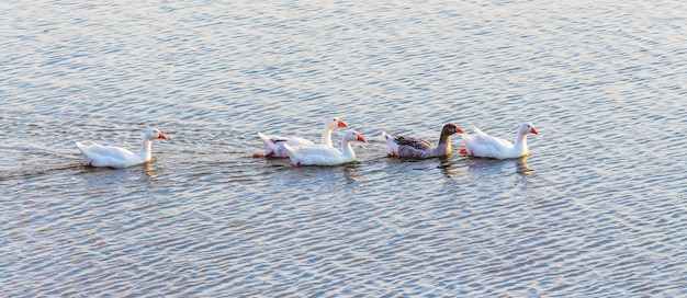 Gänse schwimmen im blauen wasser des flusses und hinterlassen eine spur_