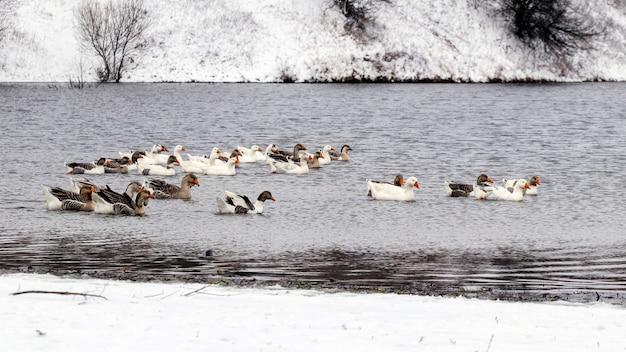 Gänse schwimmen im winter am fluss entlang in der nähe der schneebedeckten ufer