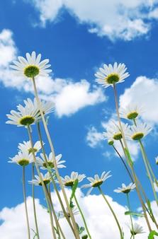 Gänseblümchen am himmel