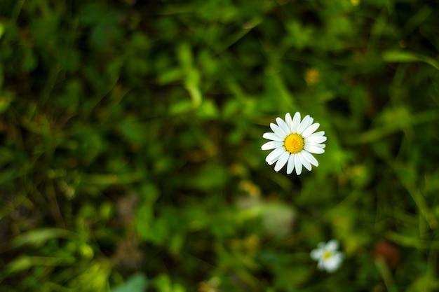 Gänseblümchen auf dem feld, gras- und blütenblumenkopf, bokeh und unschärfe fokussieren hintergrund. naturhintergrund. grüne und gelbe farben in der natur.