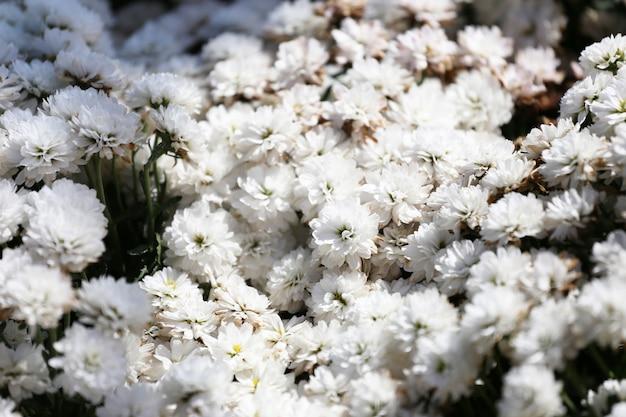 Gänseblümchen blühen im blumengarten.
