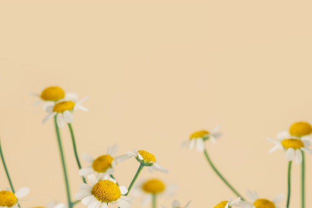 Gänseblümchen blüht auf beige