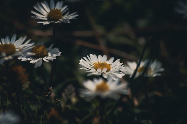 Gänseblümchen blüht hintergrund