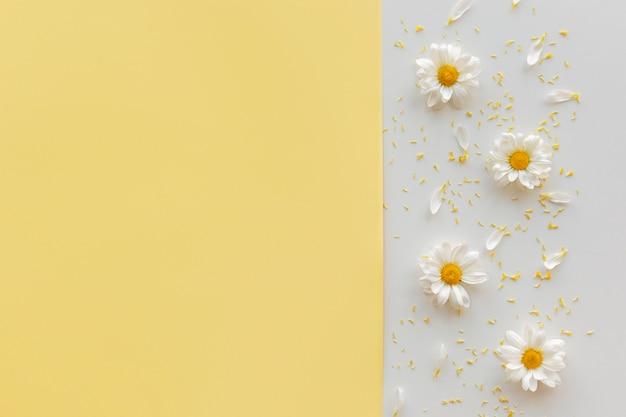 Gänseblümchen; blütenstaub und blütenblatt auf dualem hintergrund mit copyspace