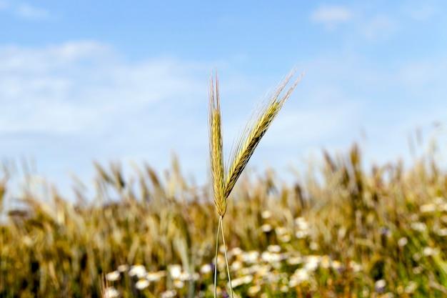 Gänseblümchen, das auf dem landwirtschaftlichen feld wächst, auf dem getreide wächst