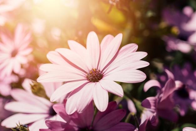 Gänseblümchen im freien hautnah