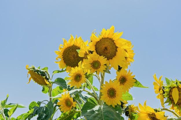 Gänseblümchenähnliche anlage des sonnenblumenblumenkopfes in der sonne strahlt aus