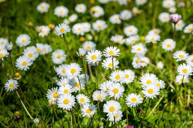 Gänseblümchenblume auf selektivem dof der grünen wiese
