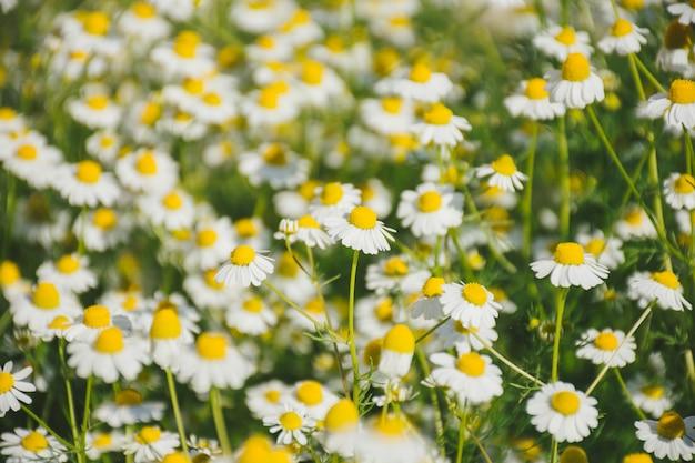 Gänseblümchenblume, die auf feld wächst
