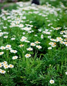 Gänseblümchenblume, frühlingsblume, natürlich