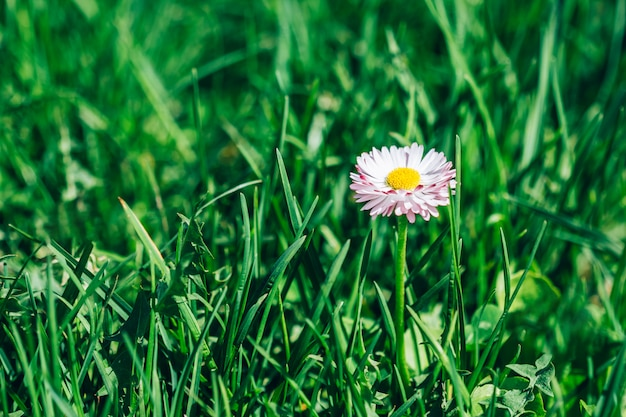 Gänseblümchenblume im grünen gras