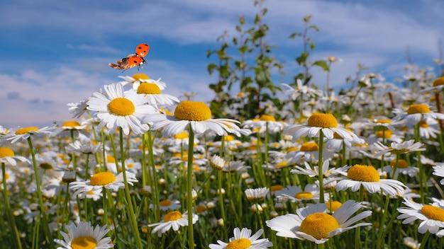 Gänseblümchenblume in einem feld auf natur an einem sonnigen tag