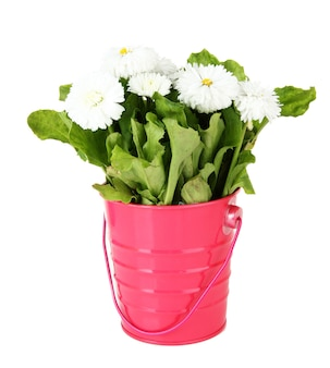 Gänseblümchenblumen lokalisiert auf weiß