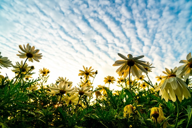 Gänseblümchenblumen mit sonnenaufganghimmel