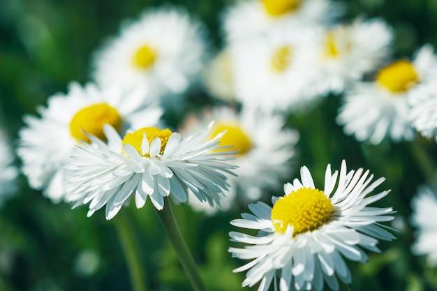 Gänseblümchenblumen mit weißen blütenblättern im garten