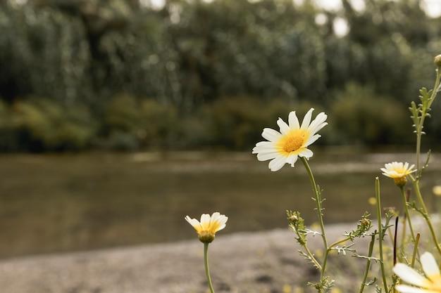 Gänseblümchenblumen nahe dem fluss