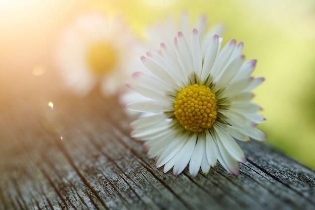 Gänseblümchenblumenanlage im garten im sommer, gänseblümchen in der natur