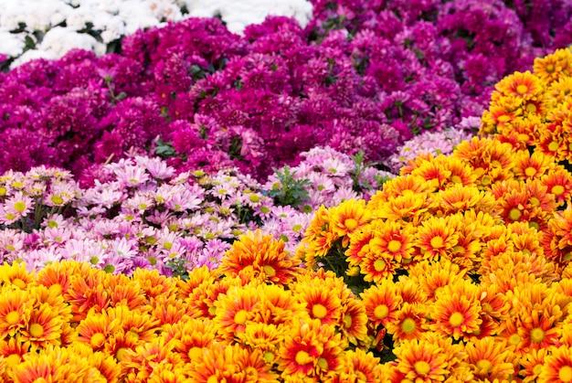 Gänseblümchenblumenfelder der chrysanthemen, die im garten blühen