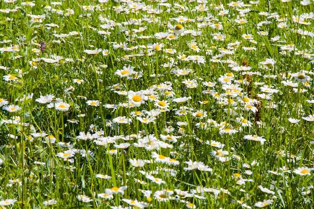 Gänseblümchenfeld, große kamillengruppe, tageslicht und outdoor