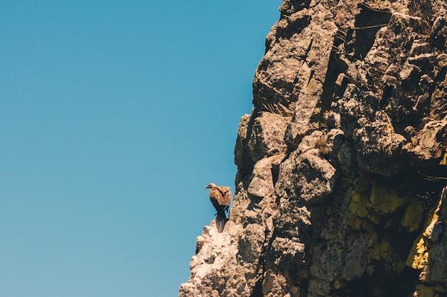 Gänsegeier auf dem felsen im monfrague national park