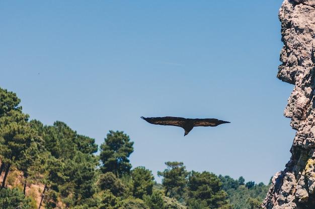 Gänsegeier im flug im monfrague national park