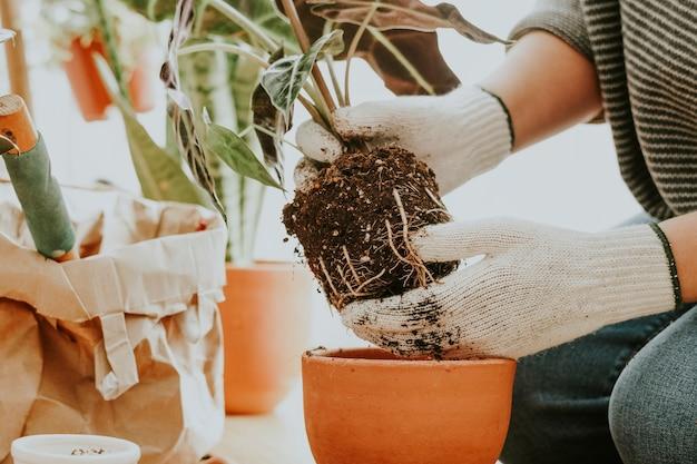 Gärtner, der eine zimmerpflanze in ihrem haus umtopft