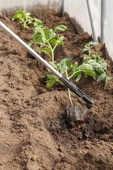 Gärtner, der wurzeln von tomatensetzlingen vor krankheiten und schädlingen behandelt, bevor er mit einem drucksprüher in den boden gepflanzt wird