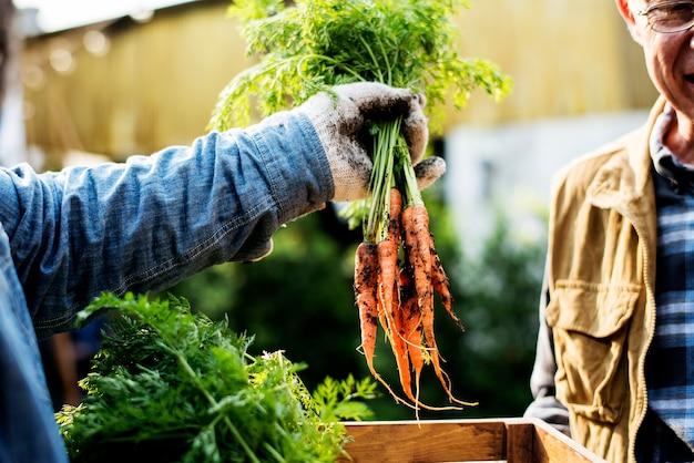 Gärtner gibt dem kunden organische frische landwirtschaftliche karotten
