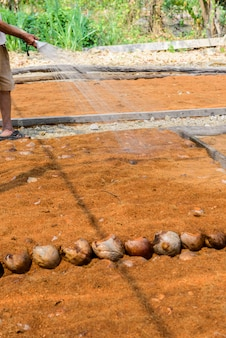 Gärtner gießen in kokosnuss-parfümplantagen für rassen