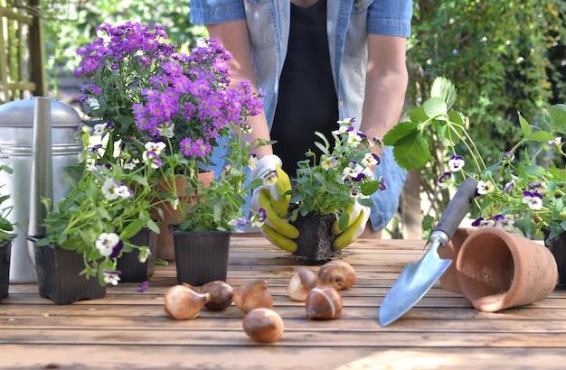 Gärtner hält einen bratschenblumentopf, der auf einem tisch im garten vergießt