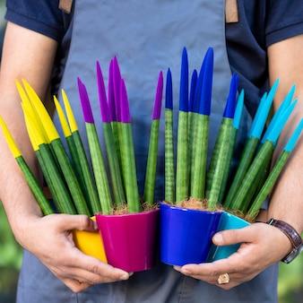 Gärtner hält gemalte sansevieria samt touch pflanzen