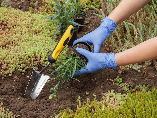 Gärtner in nitrilhandschuhen pflanzt mit einer kleinen schaufel nelkenblumen auf einem gartenbeet
