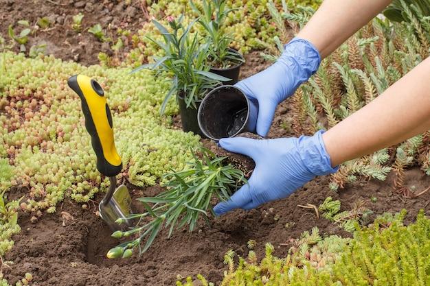 Gärtner in nitrilhandschuhen pflanzt mit einer kleinen schaufel nelkenblumen auf einem gartenbett.