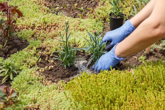 Gärtner in nitrilhandschuhen pflanzt nelkenblumen auf einem gartenbeet
